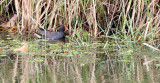 BIRD - MOORHEN - COMMON MOORHEN - NAKHON WETLANDS THAILAND.JPG