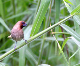BIRD - MUNIA- SCALY-BREASTED MUNIA - BUENG BORAPHET THAILAND (5).JPG