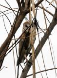 BIRD - OWL - BARN OWL - BUENG BORAPHET THAILAND (14).JPG