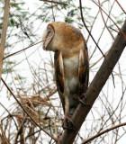 BIRD - OWL - BARN OWL - BUENG BORAPHET THAILAND (8).JPG