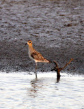 BIRD - PLOVER - PACIFIC GOLDEN PLOVER - PLUVIALIS FULVA - KHAO SAM ROI YOT THAILAND.JPG