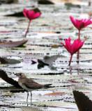 BIRD - PRATINCOLE - ORIENTAL PRATINCOLE - GLAREOLA MALDIVARUM - BUENG BORAPHET THAILAND (2).JPG