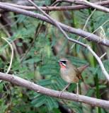 BIRD - RUBYTHROAT - SIBERIAN RUBYTHROAT - BUENG BORAPHET THAILAND (3).JPG