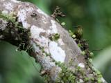 BIRD - SUNBIRD - PURPLE-NAPED SUNBIRD - HYPGRAMMA HYPOGRAMMICUM - KRUNG CHIN NP THAILAND  (3).JPG