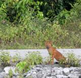 CANID - DHOLE - CUON ALPINUS - KHAO YAI NATIONAL PARK THAILAND (8).JPG