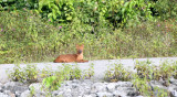 CANID - DHOLE - CUON ALPINUS - KHAO YAI NATIONAL PARK THAILAND.JPG