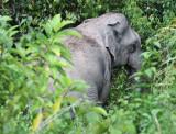 ELEPHANT - ASIAN ELEPHANT - KAENG KRACHAN NP THAILAND (5).JPG