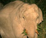 ELEPHANT - ASIAN ELEPHANT - KHAO YAI NP - 2004 (13).jpg
