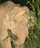 ELEPHANT - ASIAN ELEPHANT - KHAO YAI NP - 2004 (7).jpg
