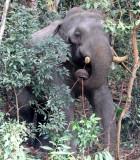 ELEPHANT - ASIAN ELEPHANT - KHAO YAI THAILAND - CHRISTMAS IN THAILAND TRIP 2008 (16).JPG