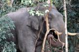 ELEPHANT - ASIAN ELEPHANT - KHAO YAI THAILAND - CHRISTMAS IN THAILAND TRIP 2008 (28).JPG