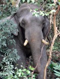 ELEPHANT - ASIAN ELEPHANT - KHAO YAI THAILAND - CHRISTMAS IN THAILAND TRIP 2008 (38).JPG