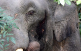 ELEPHANT - ASIAN ELEPHANT - KHAO YAI THAILAND - CHRISTMAS IN THAILAND TRIP 2008 (45).JPG