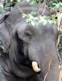 ELEPHANT - ASIAN ELEPHANT - KHAO YAI THAILAND - CHRISTMAS IN THAILAND TRIP 2008 (51).JPG