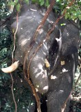 ELEPHANT - ASIAN ELEPHANT - KHAO YAI THAILAND - CHRISTMAS IN THAILAND TRIP 2008 (74).JPG