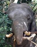 ELEPHANT - ASIAN ELEPHANT - KHAO YAI THAILAND - CHRISTMAS IN THAILAND TRIP 2008 (76).JPG