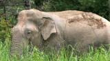 ELEPHANT - ASIAN ELEPHANT - NAM NAO NP - 2004 (7).jpg