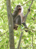 PRIMATE - MACAQUE - CRAB-EATING OR LONG-TAILED MACAQUE - KOH LANTA NP THAILAND (2).JPG