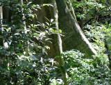HUAI KHA KHAENG - FOREST TREK IN TO THE INTERIOR (4).JPG
