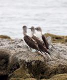 BIRD - BOOBY - BLUE-FOOTED BOOBY - ISLA MONTSERRAT - ISLETS OFF PUNTA NORTE - BAJA MEXICO.JPG
