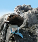 BIRD - BOOBY - BLUE-FOOTED BOOBY - SEA OF CORTEZ MEXICO.jpg