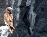 BIRD - BOOBY - BROWN BOOBY - ISLA SANTA CATALINA BAJA MEXICO (25).JPG