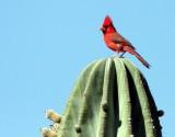 BIRD - CARDINAL - NORTHERN CARDINAL - ISLA SANTA CATALINA BAJA MEXIO (12).JPG