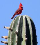 BIRD - CARDINAL - NORTHERN CARDINAL - ISLA SANTA CATALINA BAJA MEXIO (15).JPG