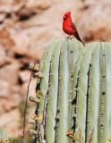BIRD - CARDINAL - NORTHERN CARDINAL - ISLA SANTA CATALINA BAJA MEXIO (2).JPG