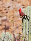 BIRD - CARDINAL - NORTHERN CARDINAL - ISLA SANTA CATALINA BAJA MEXIO (4).JPG