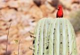 BIRD - CARDINAL - NORTHERN CARDINAL - ISLA SANTA CATALINA BAJA MEXIO (7).JPG