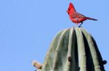 BIRD - CARDINAL - NORTHERN CARDINAL - ISLA SANTA CATALINA BAJA MEXIO (8).JPG
