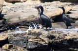 BIRD - CORMORANT - BRANDT'S CORMORANT - SAN IGNACIO LAGOON BAJA MEXICO (3).JPG