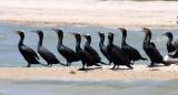 BIRD - CORMORANT - DOUBLE-CRESTED CORMORANT - SAN IGNACIO LAGOON BAJA MEXICO (13).JPG