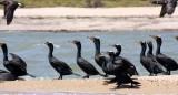 BIRD - CORMORANT - DOUBLE-CRESTED CORMORANT - SAN IGNACIO LAGOON BAJA MEXICO (17).JPG