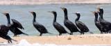 BIRD - CORMORANT - DOUBLE-CRESTED CORMORANT - SAN IGNACIO LAGOON BAJA MEXICO (20).JPG