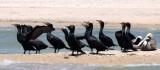 BIRD - CORMORANT - DOUBLE-CRESTED CORMORANT - SAN IGNACIO LAGOON BAJA MEXICO (8).JPG