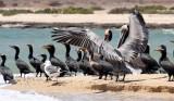 BIRD - CORMORANT - DOUBLE-CRESTED CORMORANT WITH BROWN PELICANS - SAN IGNACIO LAGOON BAJA MEXICO (12).JPG