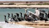 BIRD - CORMORANT - DOUBLE-CRESTED CORMORANT WITH BROWN PELICANS - SAN IGNACIO LAGOON BAJA MEXICO (14).JPG