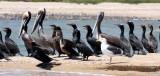 BIRD - CORMORANT - DOUBLE-CRESTED CORMORANT WITH BROWN PELICANS - SAN IGNACIO LAGOON BAJA MEXICO (6).JPG