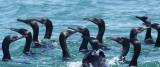 BIRD - CORMORANT - PELAGIC CORMORANT - WITH SOME BRANDT'S CORMORANT - SAN IGNACIO LAGOON BAJA MEXICO (11).JPG
