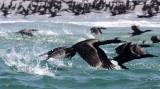 BIRD - CORMORANT - PELAGIC CORMORANT - WITH SOME BRANDT'S CORMORANT - SAN IGNACIO LAGOON BAJA MEXICO (25).JPG