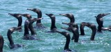 BIRD - CORMORANT - PELAGIC CORMORANT - WITH SOME BRANDT'S CORMORANT - SAN IGNACIO LAGOON BAJA MEXICO (9).JPG