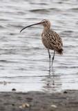 BIRD - CURLEW - LONG-BILLED CURLEW - SAN IGNACIO LAGOON BAJA MEXICO (4).JPG