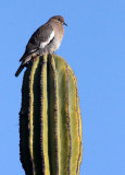 BIRD - DOVE - WHITE-WINGED DOVE - ISLA SANTA CATALINA BAJA MEXIO (4).JPG