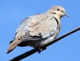 BIRD - DOVE - WHITE-WINGED DOVE - ZENAIDA ASIATICA - LORETO BAJA MEXICO (2).JPG