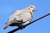 BIRD - DOVE - WHITE-WINGED DOVE - ZENAIDA ASIATICA - LORETO BAJA MEXICO (3).JPG