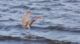 BIRD - EGRET - REDDISH EGRET - SAN IGNACIO LAGOON BAJA MEXICO (24).JPG