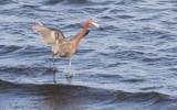BIRD - EGRET - REDDISH EGRET - SAN IGNACIO LAGOON BAJA MEXICO (27).JPG