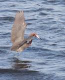 BIRD - EGRET - REDDISH EGRET - SAN IGNACIO LAGOON BAJA MEXICO (28).JPG